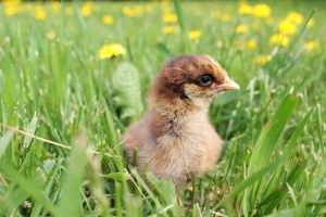 2013 Americauna chick