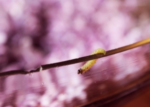 worm in lilacs